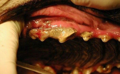 Dog+tooth+decay+pictures