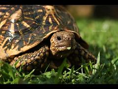 Goliath (edmundlwk) Tags: pet grass 50mm prime leaf turtle eat davidandgoliath canon450d rebelxsi edmundlim indianstartortise
