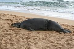 "Monk Seal ""Lucky"" (Tuffy1973) Tags: lucky kauai monkseal"