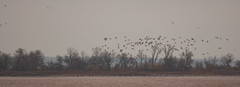About a million Sandhill Cranes (Jet, Oklahoma, United States) Photo
