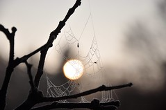 catching some sun (christiaan_25) Tags: morning november light shadow sun silver gold frost branch pattern web spiderweb explore dew catch 433 strands nikond90 1december2009