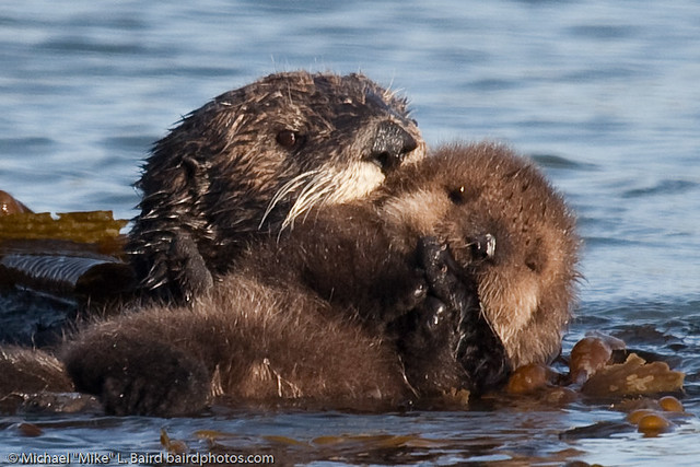 Sea Otter Mother with Pup Beside Morro Bay CA 14 Dec 2009 by mikebaird
