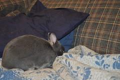 20091217_11 (sensitivebunnyguy) Tags: bunny bunnies netherlanddwarfrabbit cutebunnies santamax cuterabbits cuterabbitphotos cutebunnyphotos nikond5000 lopearrabbits santabunnies santasundae