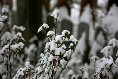 Snow Storm '09 (taylorlwhite) Tags: blacksburg winterweather southwestvirginia snowstorm2009