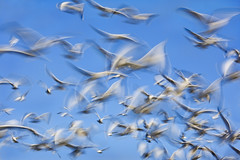 Flock Blur by J Gilbert