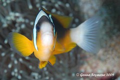 Kissed by a clownfish (genna S) Tags: ocean sea fish southafrica marine underwater wildlife indianocean invertebrates marinelife sodwana