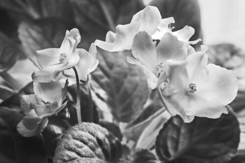 African Violets BW