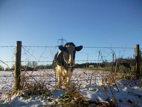 Snowy Cow