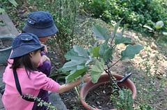20091213-第一發現茄子 (2)