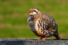 Partridge (chippyrob) Tags: colour nikon worcestershire partridge dapa d80 robertpowell dapagroup dapagroupmeritaward chippyrob dapagroupmeritaward3 dapagroupmeritaward2 dapagroupmeritaward1