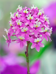 The Crucifix Orchid (Paul in Japan) Tags: pink plant orchid flower macro nature bokeh exotic crucifix mauve dendrobium mywinners raspberryvalley