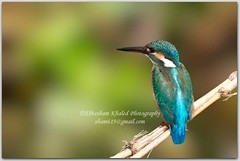 The Kingfisher! (Ehtesham Khaled [www.ehteshamkhaled.com]) Tags: camera bird art lens nikon media kingfisher dhaka khaled ehtesham bangladesh bangla advertise bangali banga sham619 gettyimagesbangladeshq3