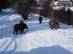 Die Wildschweine wissen, an dieser Hecke gibt es immer was zu fressen