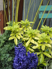 Hyacinth Yellow Twig Dogwood