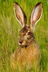 Jackrabbit eating grass (wolfpix) Tags: rabbit mammal rodent nikon hare conejo lapin hace hase kaninchen mammifre hasen kani jackrabbit hares hazen kanin lebre krlik livre livres lepri liebre supershot    kuneho liebres lebres nikonfieldscope  nikonfieldscopeed78 nikond5000   lepuscalifornianus