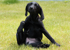 Itch (sjaradona) Tags: dog pet black animal canon garden labrador belgium 2009 kangoo flickraward dognationalities