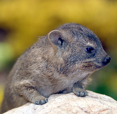 Rock hyrax (floridapfe) Tags: cute animal rock zoo nikon korea hyrax everland 에버랜드 rockhyrax
