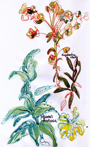 New garden: phlomis & euphorbia