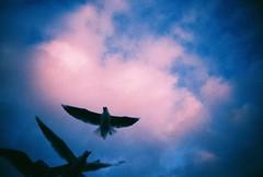 the chase (golfpunkgirl) Tags: england sky birds coast seaside wings lomo lca xpro lomography crossprocessed gulls swanage fujivelvia100