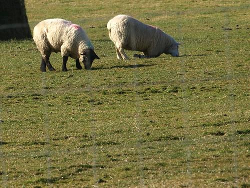 Das möglicherweise faulste Schaf der Geschichte
