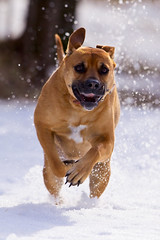 Happy Dog (Benoit Dery) Tags: winter dog brown sun snow sparkles fun happy jump jumping labrador happiness running run 300mm boxer backlit happydog markiv 1d4 ef300mmf28lisusm ef300mmf28l 1dmarkiv