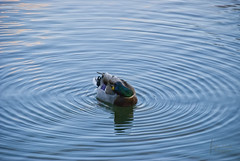 Circles of spring (Stefan Cioata) Tags: water beautiful circle photography photo duck spring nikon image sale great stock best stefan explore romania getty top10 available cluj napoca rata outstanding primavara 18135 d80 cioata
