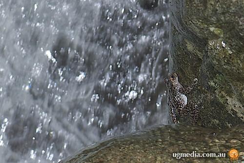 Waterfall frog (Litoria nannotis)