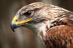 Ferruginous Hawk (Dan Demczuk) Tags: birds ontario canada canon eos 20d nature wildlife bird aves bokeh vögel pájaro pájaros africanlionsafari ferruginoushawk hawk buteoregalis dandemczuk
