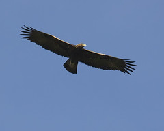 Golden Eagle (2)