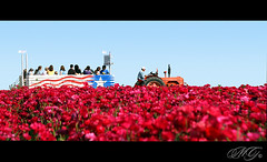 The Flower Fields, Carlsbad 2010 - 21 (Marcie Gonzalez) Tags: california lighting county ca morning pink flowers light red sky plants sun plant tractor flower color green nature colors canon wagon botanical photography daylight petals san day ride natural bright many antique flag group magenta diego sunny ranunculus petal southern riding together american bunch bloom fields bunches destination gonzalez blooms tractors carlsbad marcie attraction attractions wagons botanicals blooming the destinations theflowerfieldscarlsbad marciegonzalez marciegonzalezphotography