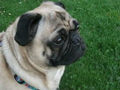 DreamyEyed Puggy. (O'TOOLE ☮) Tags: portrait dog brown black cute green eye dogs portraits eyes mask dream pug masks snickers dreams kawaii dreamy eyed masked collar pugs snicker canines blule dreamie