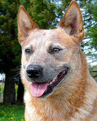 Kin2-Portrait 04/14/10 (zingpix) Tags: blue red dog dogs cattle  australian queensland allrightsreserved heeler acd whatcom allrightsreserved zingpix jeffjaquish lindajaquish