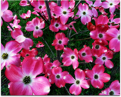 fiorellini (isa.isa) Tags: primavera colore rosa natura prato fiorellini