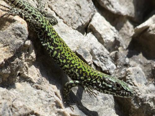 Wall Lizard (13)