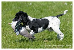 Munsterlander pup learns retrieving (bo foto) Tags: dog dogs nikon hunting hond hund pup hunde chiens chasse dogphotography d300 honden workingdog workingdogs gundogs jagen jacht munsterlander jagdhund dogpic dogphotographer jachthond chasser jagdhunde jachthonden bofoto hondenportret hondenfotograaf hondenfotografie boudewijnolthof gundag munsterlanderpup