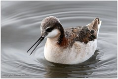Wilson's Phalarope (Phalaropus tricolor) (Sharon's Bird Photos) Tags: birding northdakota shorebirds wilsonsphalaropes grandforkscounty slbswimming