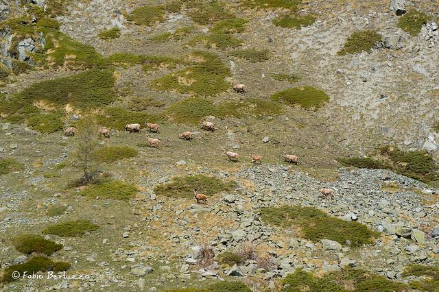 8. Stambecchi intorno al Lago di Cortina