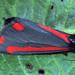 [2069] The Cinnabar (Tyria jacobaeae)