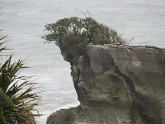 NewZealandPancakeRocks020 (tjabeljan) Tags: newzealand nieuwzeeland pancake rocks paparoa np panakaiki limestone blowhole hole blow flax flaxladder southisland tasman tasmanzee tasmansea dolomite dolomiet highway 6
