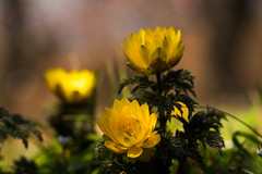 福寿草 (qrsk) Tags: 福寿草 朔日草 花 春 冬 黄色 flower grass spring springephemeral yellow winter tokyo japan