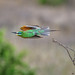 Blue-cheeked bee-eater (Merops persicus) in flight in Tarangire National Park, Tanzania, East Africa