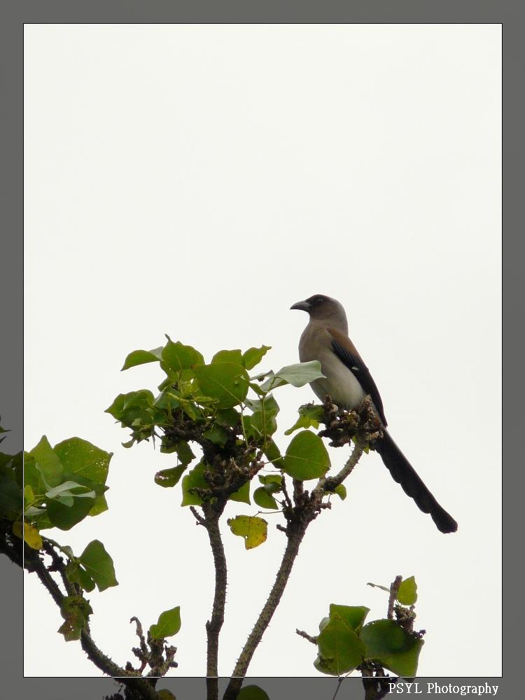 Grey Treepie (Dendrocitta formosae) - 樹鵲