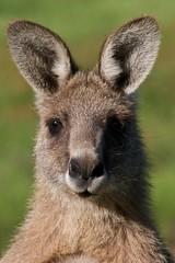 She was so pretty (Geoff Main) Tags: nationalpark australia explore kangaroo act naturesfinest canon30d namadginationalpark canonef100400f4556lisusm gudgenbynaturereserve