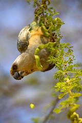 African Orange-Bellied Parrot (Poicephalus rufiventris) (mikel.hendriks) Tags: male bird nature birds tanzania wildlife safari tarangirenationalpark canoneos50d africanorangebelliedparrot poicephalusrufiventris sigma120400mmf4556apodgoshsm helmfieldguides birdsofkenyanortherntanzania