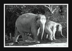Elephant Love Serie 007 (Mandy van Tilborg) Tags: mandy elephant zoo blijdorp van olifant jong olifanten indische diergaarde aziatische olifantje olifantenjong tilborg