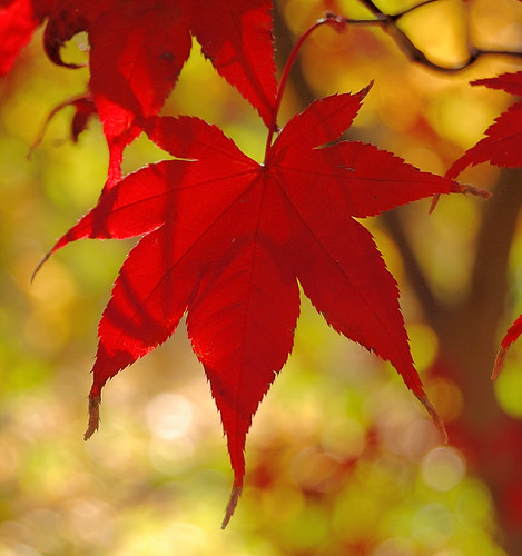 Missouri Botanical Garden (Shaw's Garden), in Saint Louis, Missouri, USA - red Maple leaf in Autumn