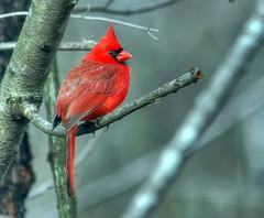 Easy To Spot (ozoni11) Tags: red bird nature birds animal animals interestingness nikon cardinal maryland explore ornithology 354 cardinals columbiamaryland passerine interestingness354 i500 explore354 michaeloberman ozoni11