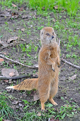 Yellow Mongoose (Truus & Zoo) Tags: netherlands animals zoo rotterdam blijdorp dierentuin yellowmongoose cynictispenicillata vosmangoest leastconcern