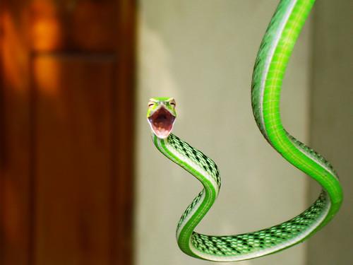 フリー写真素材, 動物, 爬虫類, 蛇・ヘビ, 笑顔・スマイル,