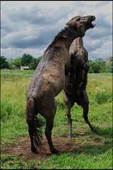 019 (Bargais) Tags: wild horse latvia latvija jelgava zirgi pilssala savvaļa